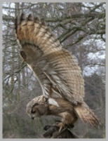 Eurasian Eagle Owl Flapping Wings
