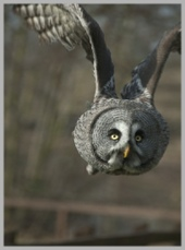 Grey Owl in Flight